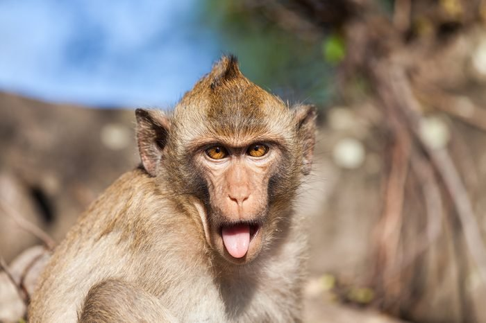Portrait of a rhesus monkey with tongue sticking out