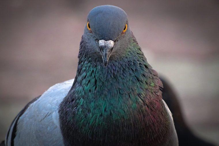 Widok z przodu twarzy gołębia skalnego twarzą w twarz. Gołębie gołębi tłoczą się na ulicach i placach publicznych, żyjąc na wyrzuconych pokarmach i ofiarach ptaków.