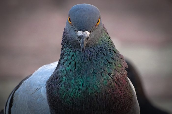 Front view of the face of Rock Pigeon face to face.Rock Pigeons crowd streets and public squares, living on discarded food and offerings of birdseed.