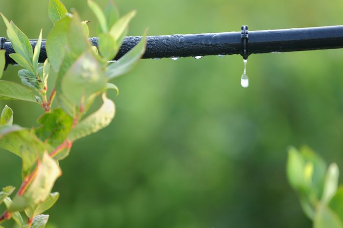 Drip Irrigation System Close Up. Water saving drip irrigation system being used in a Blueberry field.