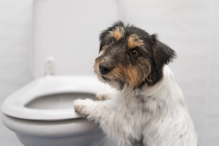Dog on the toilet - Jack Russell Terrier