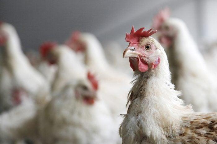 portrait of chicken in crowded barn