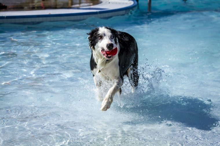 Australian Shepherd dog planning fetch in water of local swimming pool