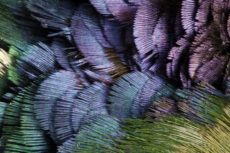 Detailed texture of golden pheasant feathers