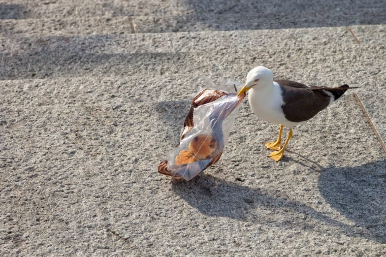 The bird - Seagull searching food in plastic bag.