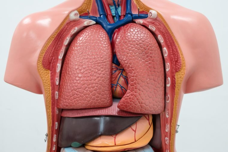 Close-up of Internal organs dummy on white background.