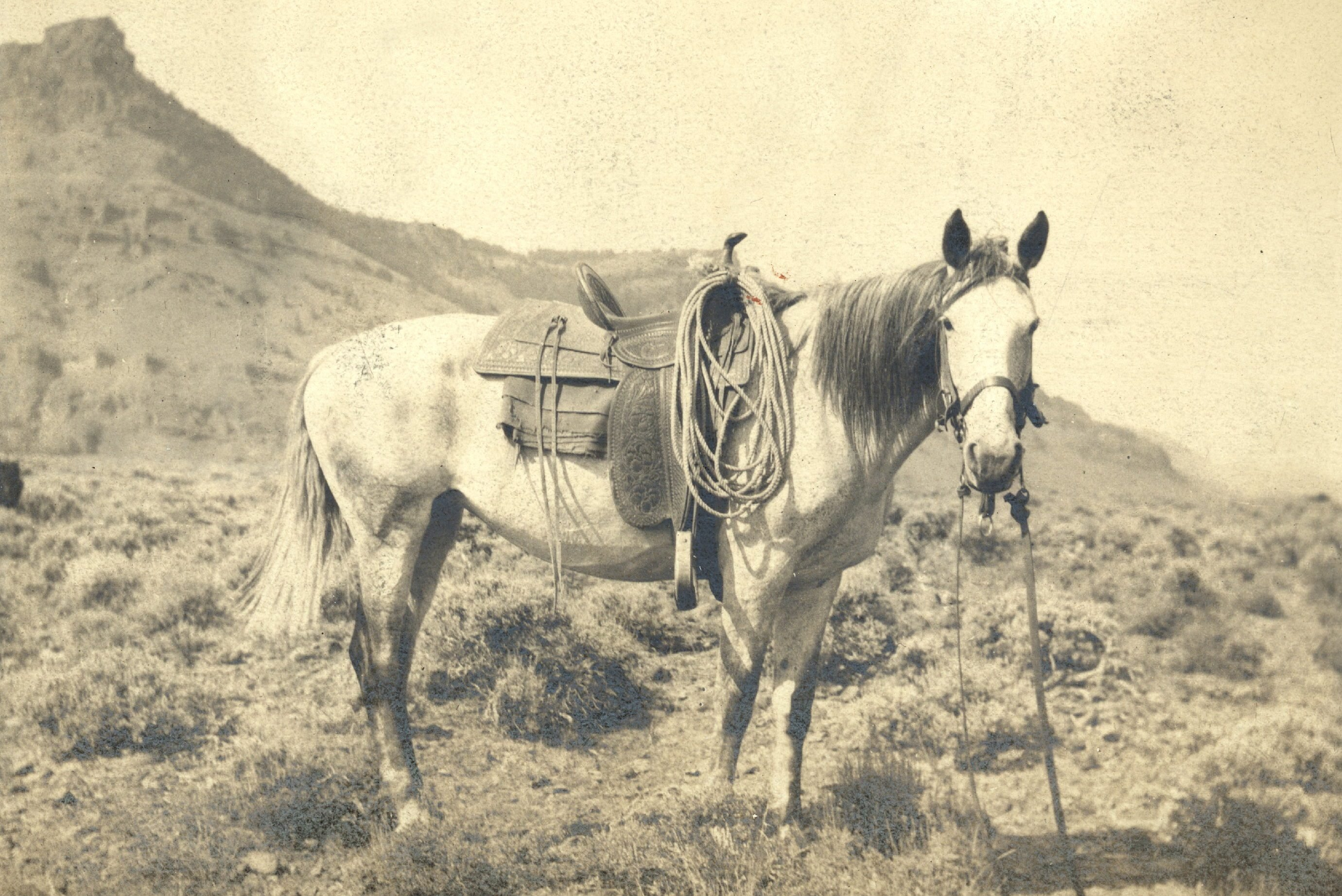 Mandatory Credit: Photo by Bill Manns/Shutterstock (7647211xl) Saddled mustang cow pony (horse), c1890 Art
