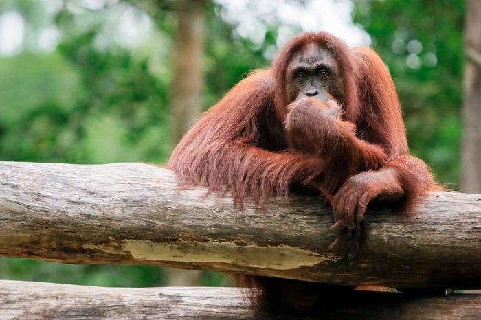 Thinking Orangutan, Kota Kinabalu, Borneo, Malaysia