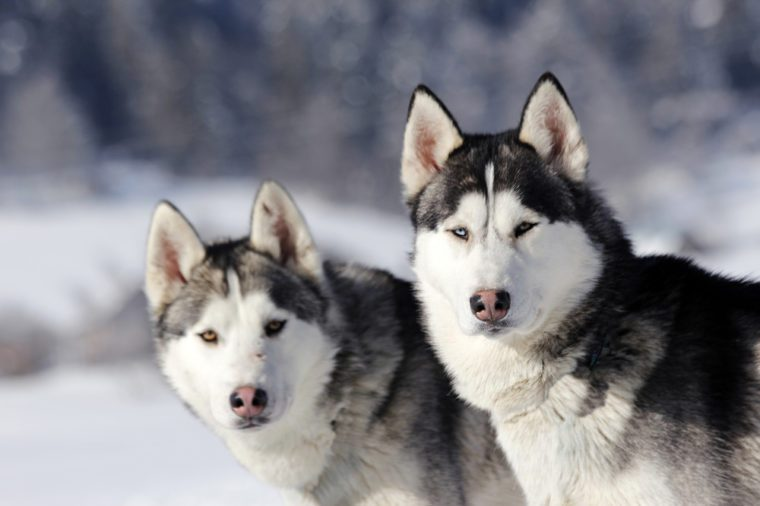 Two Siberian huskies in a snowy landscape
