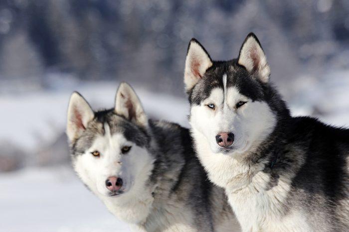 Two Siberian huskies in a snowy landscape