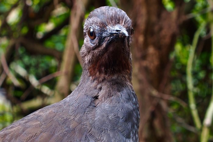 Proud Dignified Superb Lyrebird in a Cool Composed Stance.