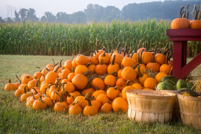 A huge stack of pumpkins with a cornfield in the background on this rural New Jersey morning.