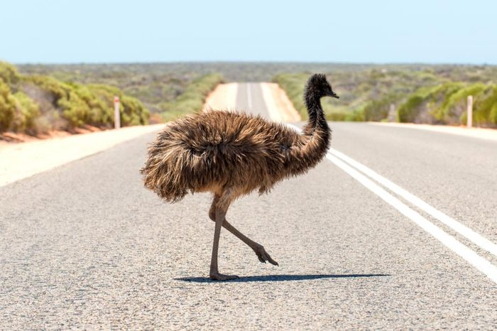 An emu crosses the road in outback Australia
