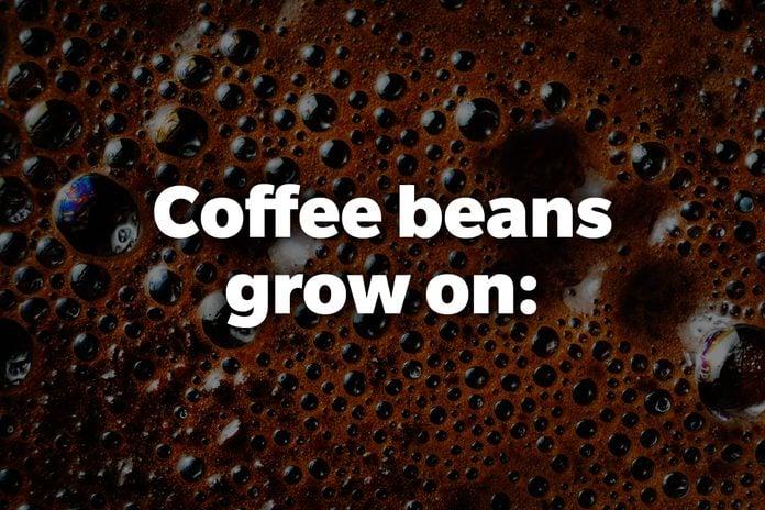 Coffee beans grow on:
