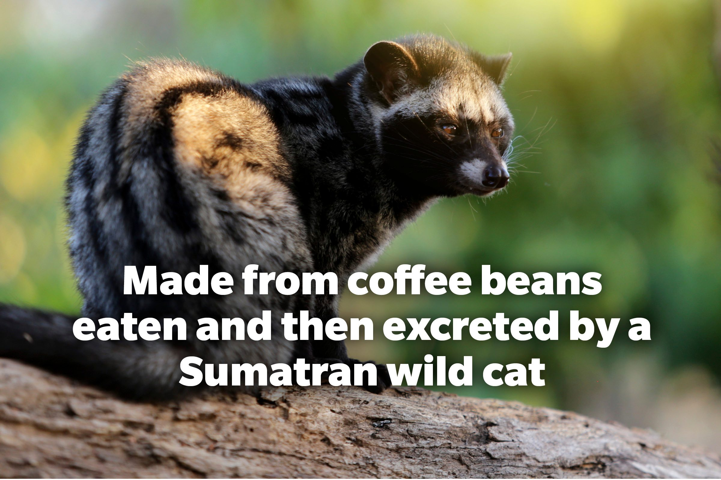 Made from coffee beans eaten and excreted by a Sumatran wild cat