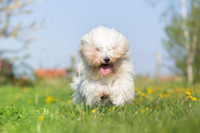 Coton de tulear dog run in spring meadow