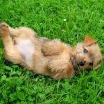 13 of the World's Smallest Dog Breeds