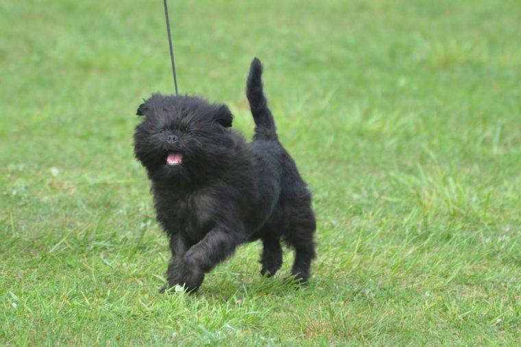 Really cute affenpinscher dog with a pink tongue.