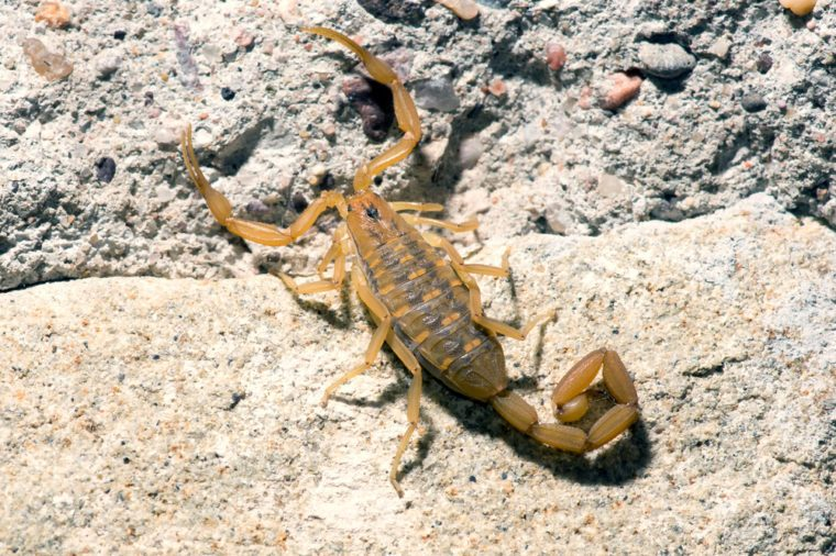 Bark Scorpion - Centruroides exilicauda (formerly C. sculpturatus) - small light brown scorpion common to the Sonoran Desert in southwest United States and northwestern Mexico