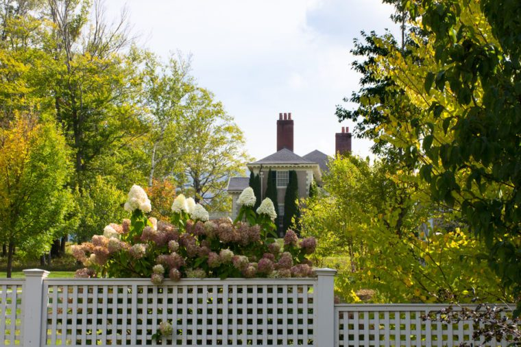 A blooming hydrangea bush with a partial view of the Hildene mansion in the background. Fall foliage is present.