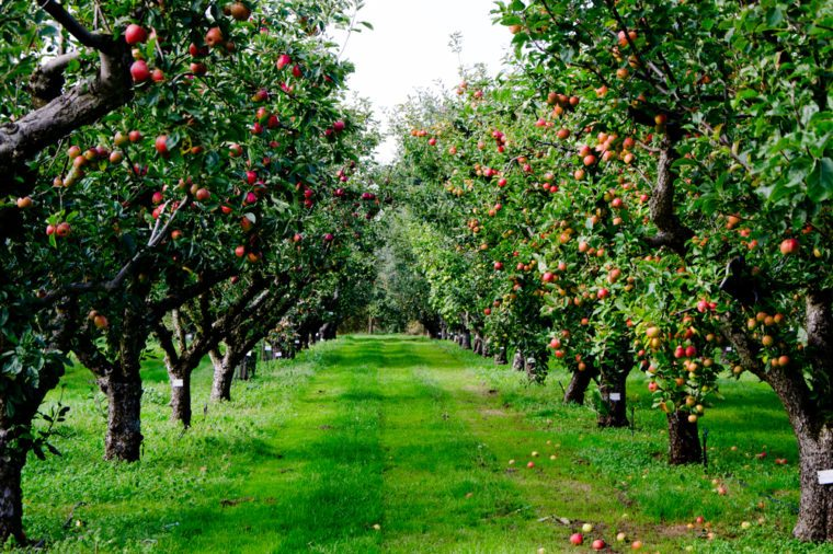 Autumn apple tree grove in Surrey, England