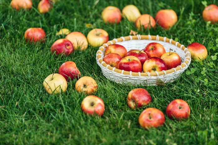 red fresh picked apples in wicker bowl on green grass