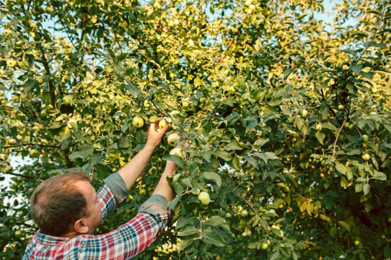The male hand during picking apples in a garden outdoors. Love, family, lifestyle, harvest concept. Green trees background.