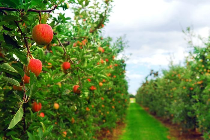 Apple orchard with red ripe apples on the trees