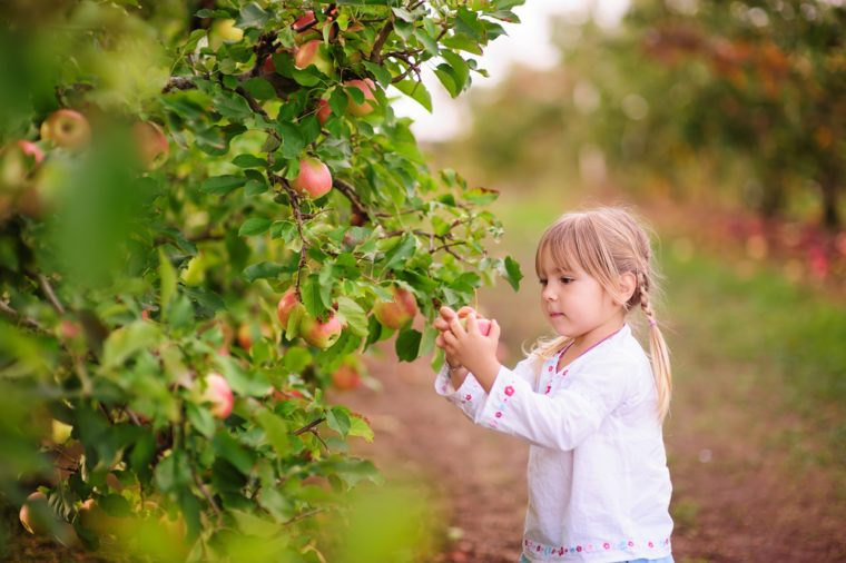 pretty little girl picking fresh organic apples on a farm