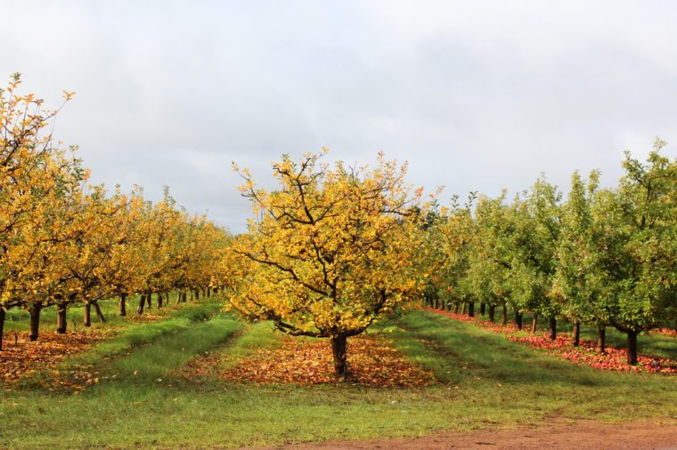 Apple orchard in late autumn with leaves changing color and red apples fallen on ground due to downturn in market at Donnybrook, Western Australia.