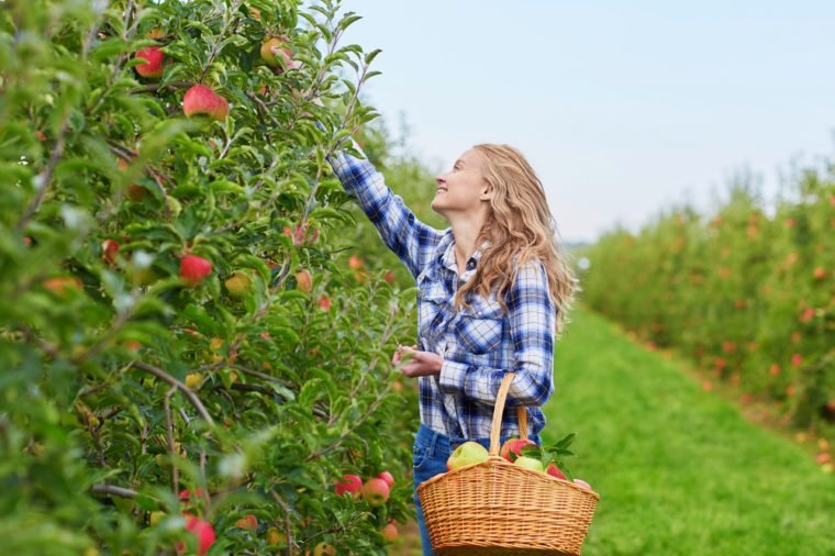 Beautiful young woman picking ripe organic apples in basket in orchard or on farm on a fall day