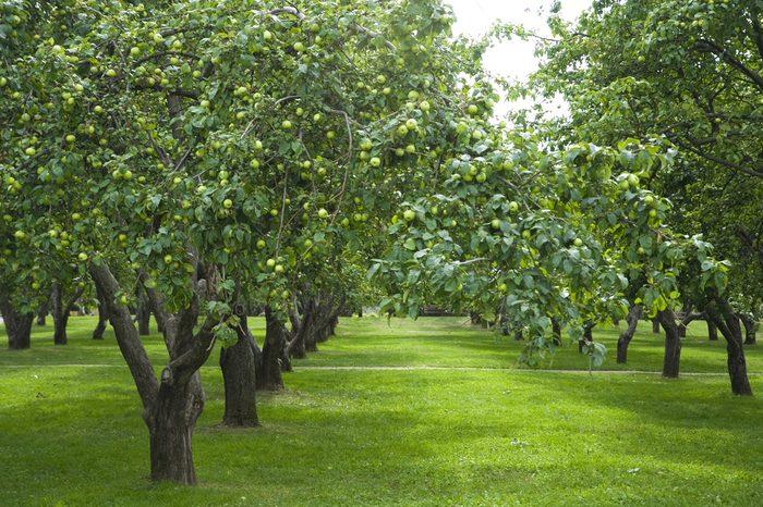 apple gardens in Kolomenskoye,Moscow,Russia