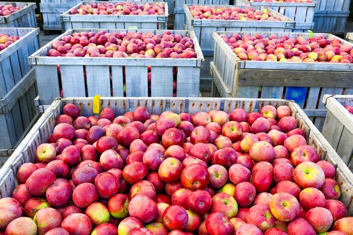 Wooden crates full of ripe apples during the annual harvesting period in Portland, NH