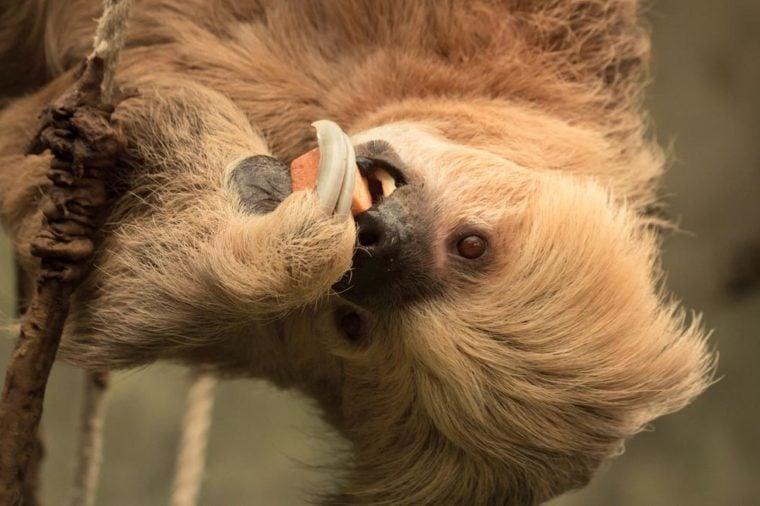 Dwupalczasta lenistwo jedzenie w Omaha Zoo