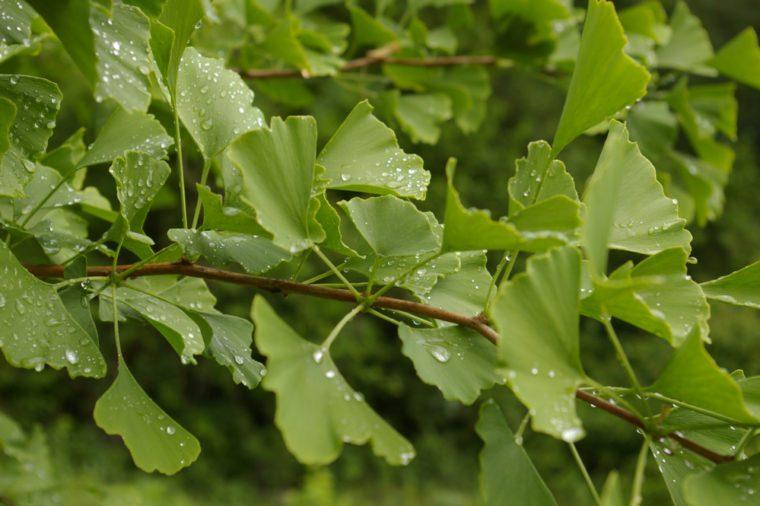 Beatiful Ginko leaf in summer time