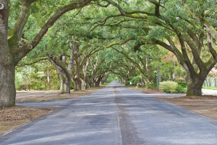 A living archway of oaks lines South Boundary Drive in Aiken, South Carolina.