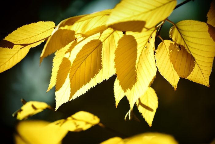 The yellow leaves of yellow birch in autumn in the backlight / Autumn leaves yellow birch