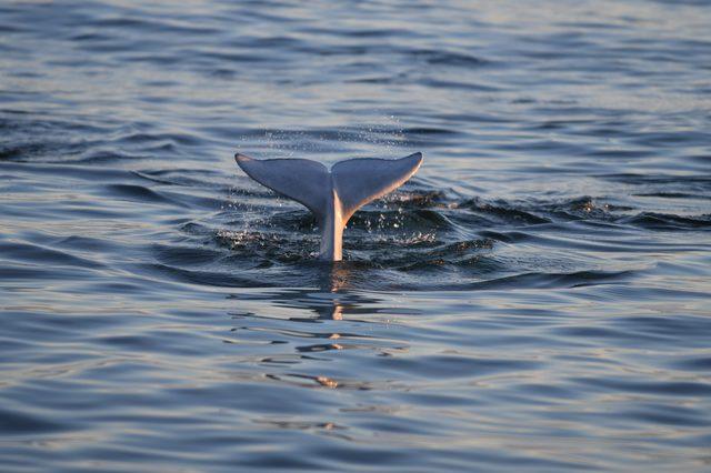beluga whales in Churchill manitoba Canada