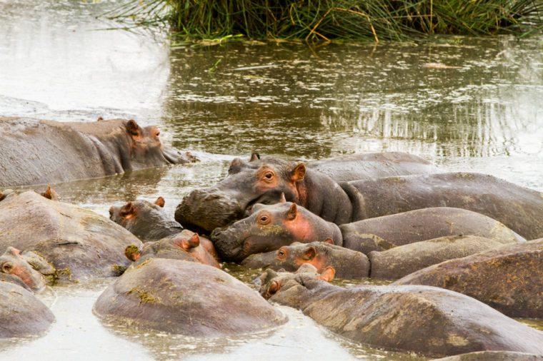 Common hippopotamus (Hippopotamus amphibius), or hippo, mostly herbivorous, semiaquatic mammal native to sub-Saharan Africa, in the water in Ngorongoro Conservation Area (NCA) Crater Highlands, Tanzan