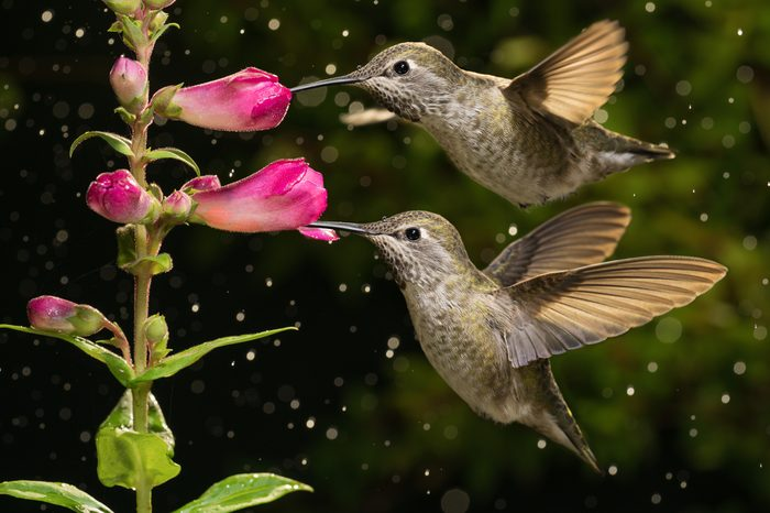 Two hummingbirds visit pink flowers in raining day