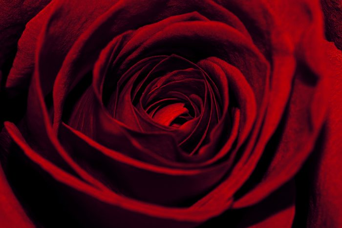 Extreme Close-Up Of Beautiful Red Rose