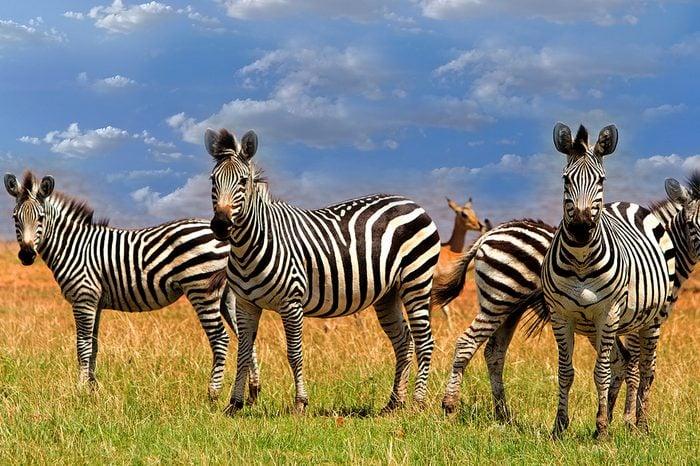 Dazzle of Zebras (Equus quagga) standing on the lush plains next to Lake Kariba in Matusadona National Park Zimbabwe