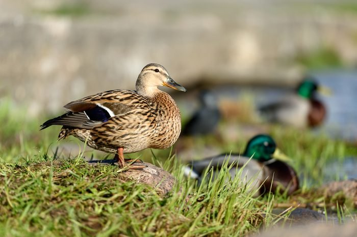 Birds and animals in wildlife. Amazing closeup view of brown mallard female duck on stone under sunlight with others swimming nearby in water of park river landscape.
