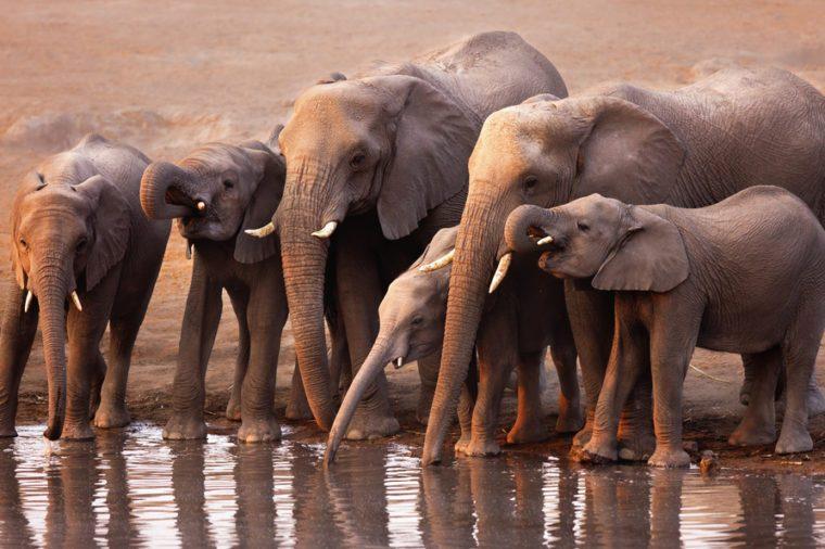 Elephant herd drink at a waterhole in Etosha