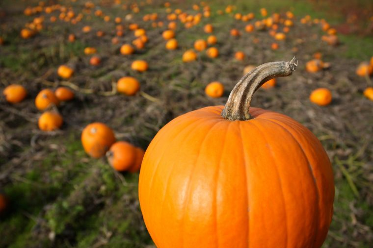 Fall pumpkin in harvest field with pumpkins in background. Horizontal format