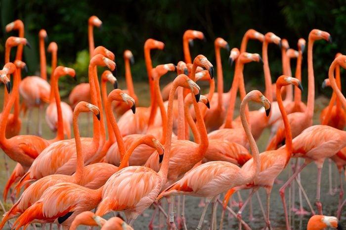 Close up of caribbean flamingos (Phoenicopterus ruber), selective focus.