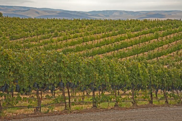 Rows of grape vines with ripe grapes in vineyard against Columbia Hills near Walla Walla, Washington