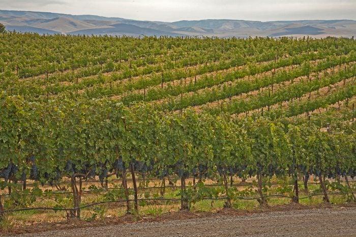 Rows of grape vines with ripe grapes in vineyard against Columbia Hills near Walla Walla, Washington