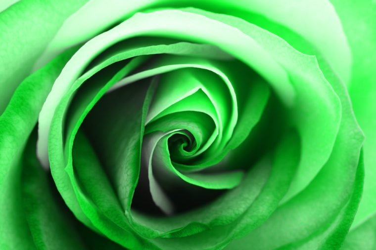 Macro of green and white rose heart petals for greetings background