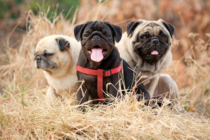 Black puppy pug dog sitting with fawn pug dog on dry grass with dry Leaves background.